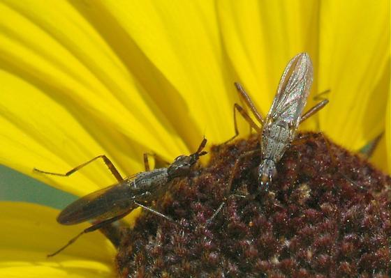 Longhorn cactus fly confrontation - Odontoloxozus longicornis