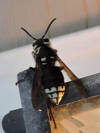 new type of bee/wasp for me? - Dolichovespula maculata