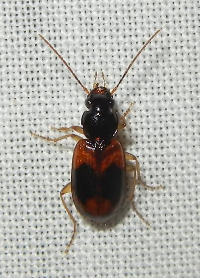 Badister maculatus
