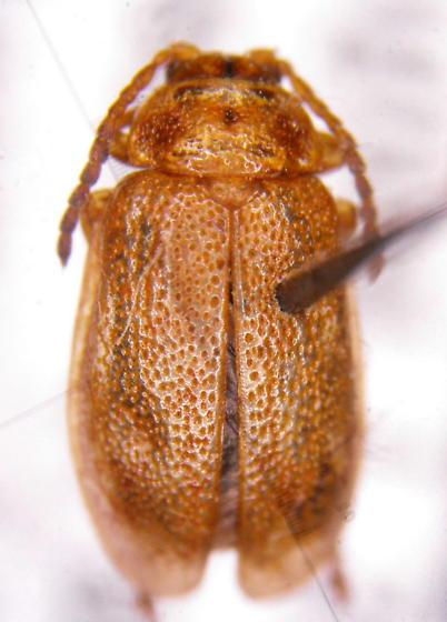 Chryso 3 - Ophraella cribrata