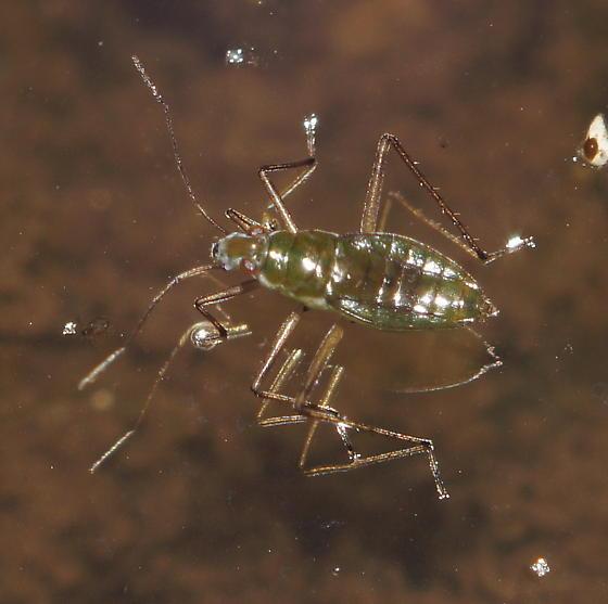Unknown Gerridae - Mesovelia