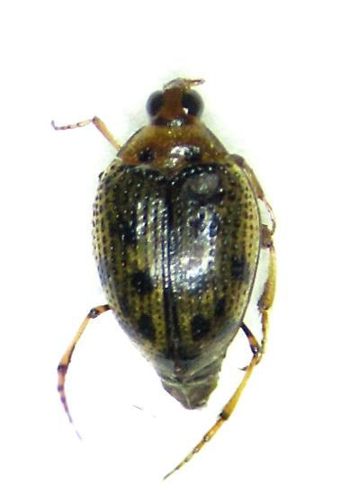 Peltodytes edentulus - female