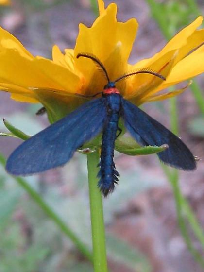 Deep blue.. moth? - Harrisina metallica
