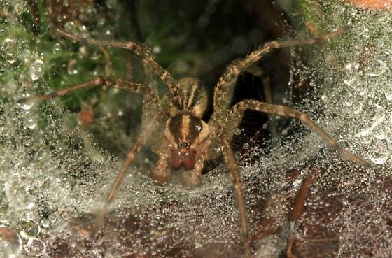 Funnel-web spider - Agelenidae ? - Agelenopsis