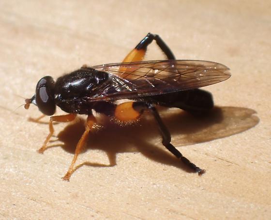 Diptera - Chalcosyrphus curvarius
