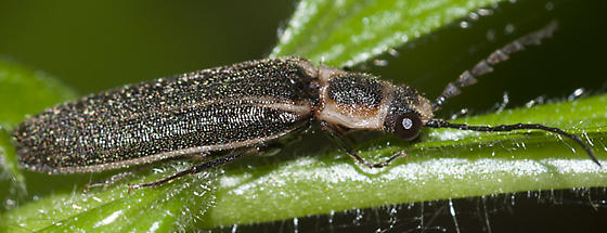 Click Beetle - Denticollis denticornis