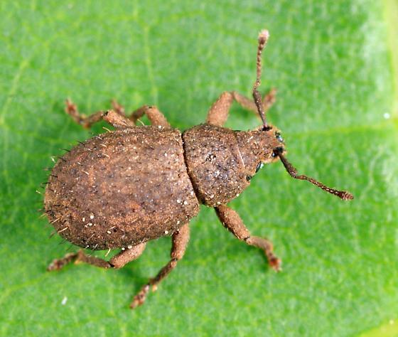 weevil - Phyxelis rigidus