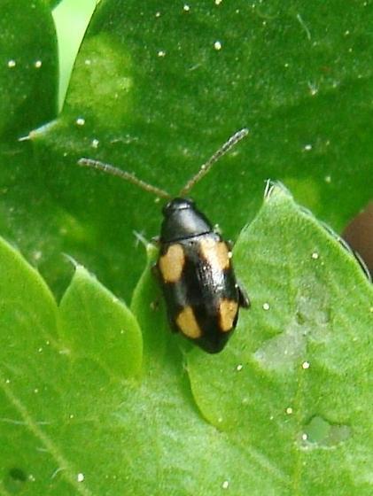 Phyllotreta? 1 - Phyllotreta bipustulata