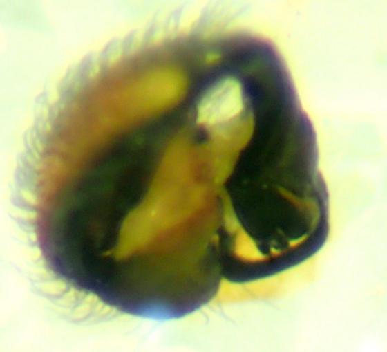 E. oregona male - Emblyna oregona - male