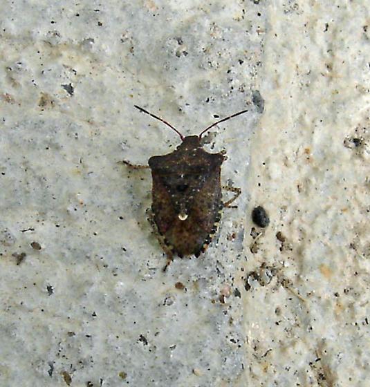 dark brown stink bug - Euschistus tristigmus