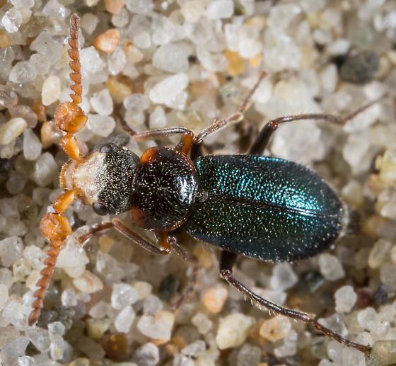 Collops sp - Collops cribrosus - male