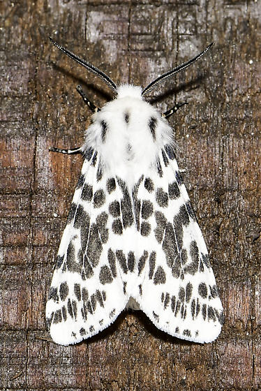 Hyphantria cunea - Fall Webworm Moth - Hyphantria cunea