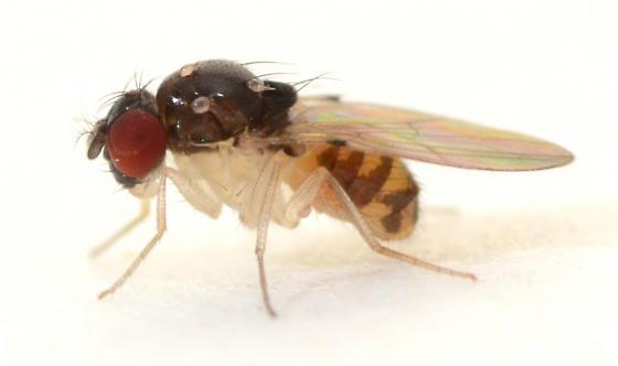 flies emerging from rotting Chantarelles - Mycodrosophila dimidiata