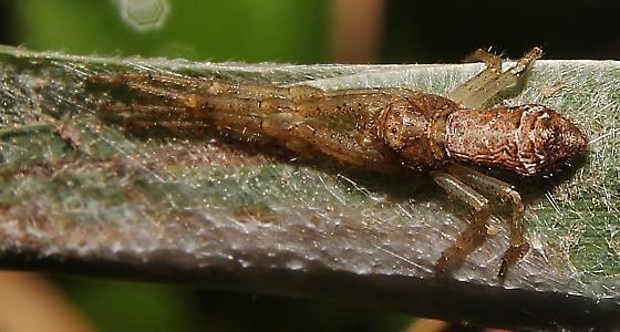 Tmarus angulatus - Crab Spider - Tmarus angulatus