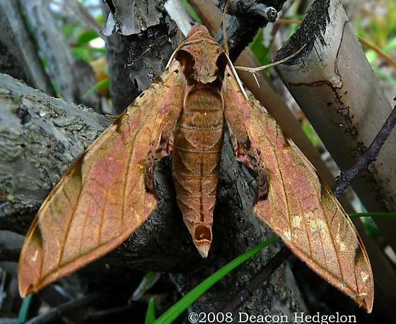 Sphinx Moth? - Protambulyx strigilis