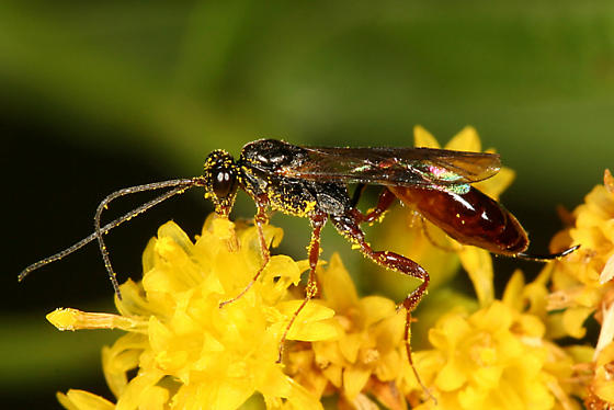 Wasp with an upcurved ovipositor - female