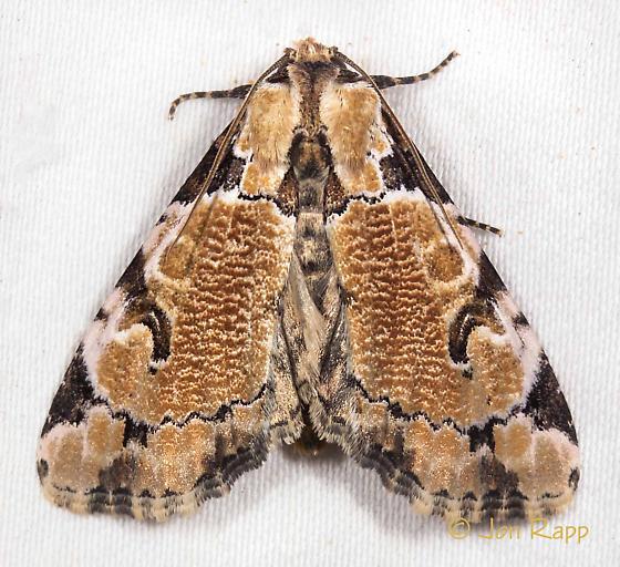 Whaleback Moth - Stibaera thyatiroides