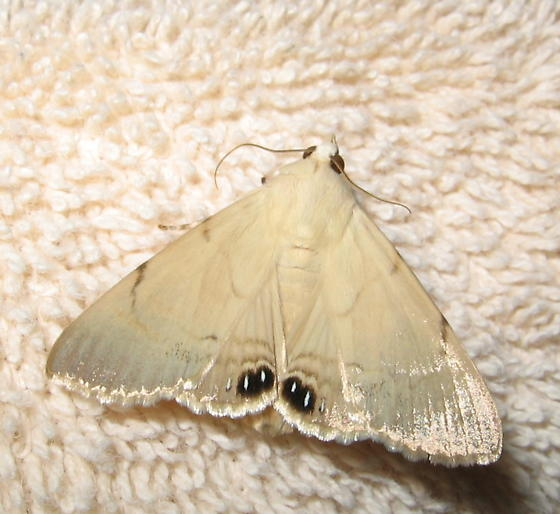 4 eyes - Litoprosopus coachella