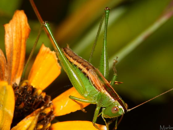 Straight-lanced Meadow Katydid - Conocephalus strictus - female