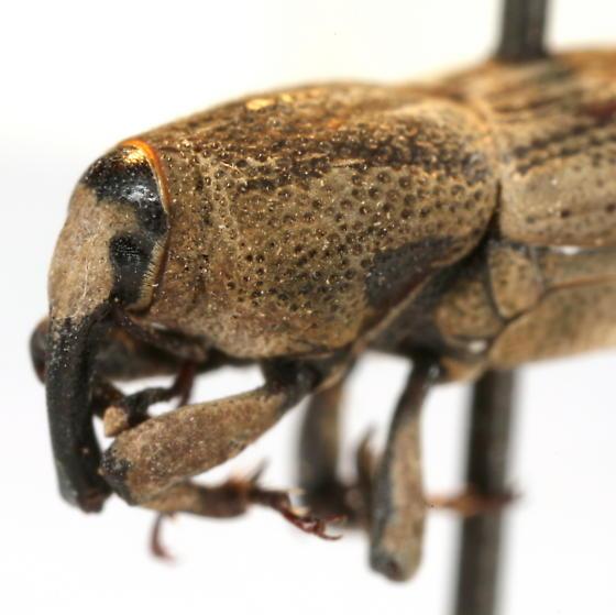 Sphenophorus hoegbergii Boheman - Sphenophorus hoegbergii