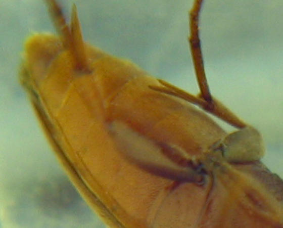 Sad-eyed twitcher - Orchesia castanea