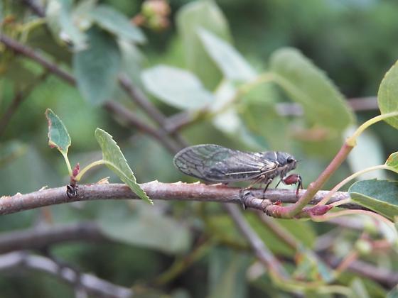 cicada (Okanagana occidentalis ?) - Platypedia areolata