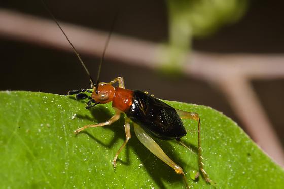 Unknown bug.  - Phyllopalpus pulchellus - male
