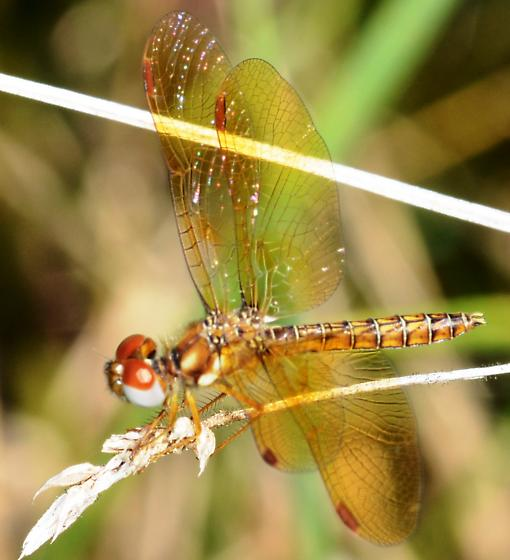 Eastern Amber-wing Dragonfly? - Perithemis tenera