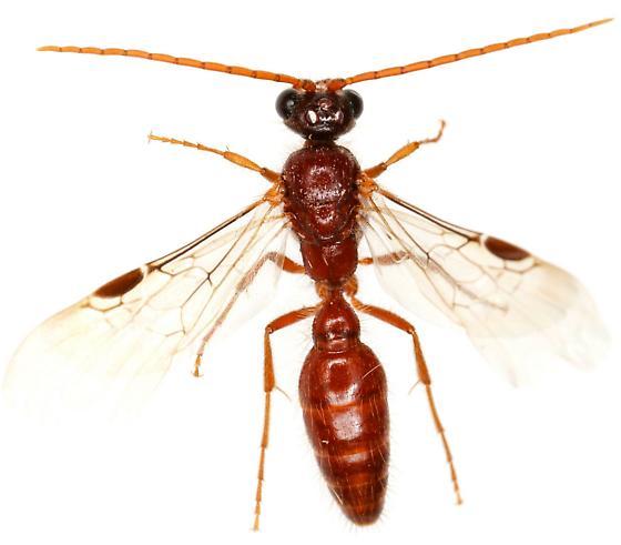 Brachycistidinae? Male? - male