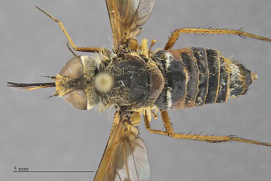 Bombyliidae - Exoprosopa