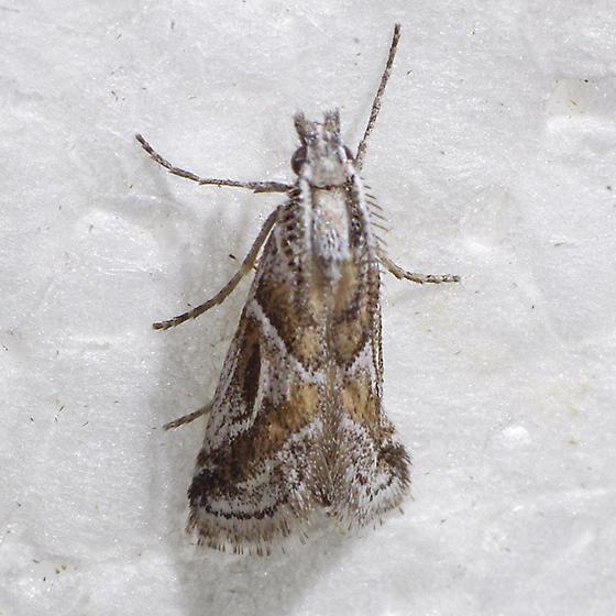 moth - Decaturia pectinalis - male
