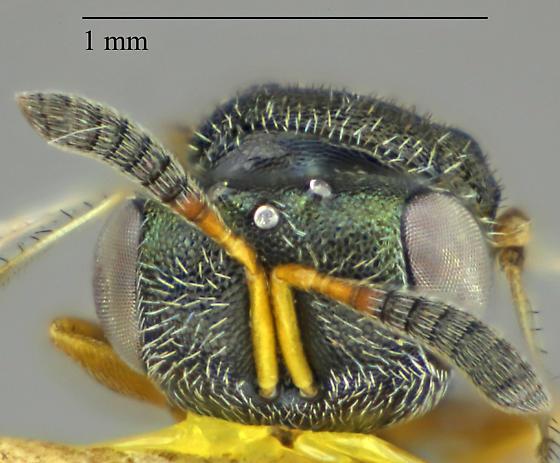 Hymenoptera - Psilocera