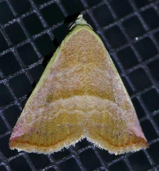 Texas SE Gulf Coast - Eublemma cinnamomea