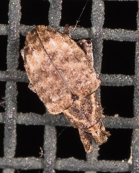 Conotrachelus sp.? - Conotrachelus seniculus