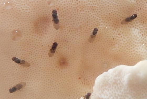 Fly - Mycodrosophila