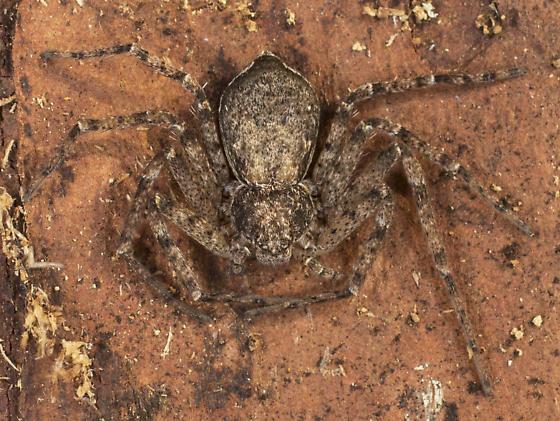 Crab Spider? - Philodromus