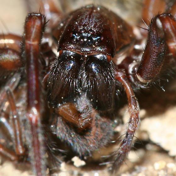 large spider - female