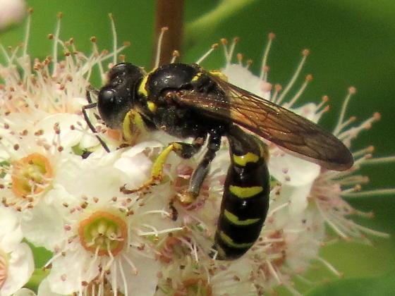 Crabronidae? - Crabro argusinus - female