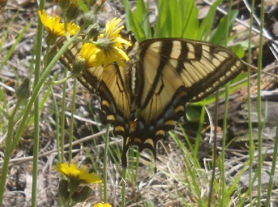 Papilio glaucus - Papilio canadensis - female