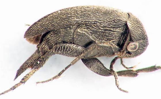 Mordellistena  - Mordellistena aspersa