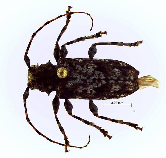 Aegomorphus modestus? - Aegomorphus modestus