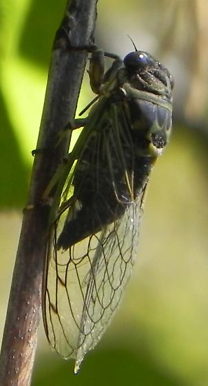 Huge Bug - Neotibicen canicularis