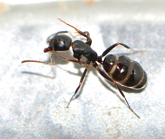 unknown ant - Camponotus