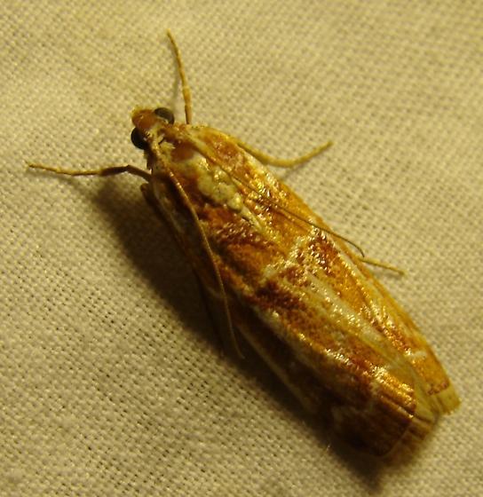 Pyralid moth - Dioryctria auranticella