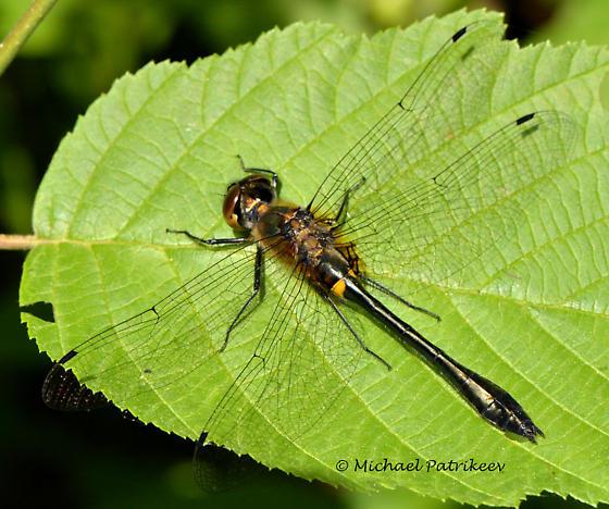 Brown-eyed Dorocordulia? - Dorocordulia libera