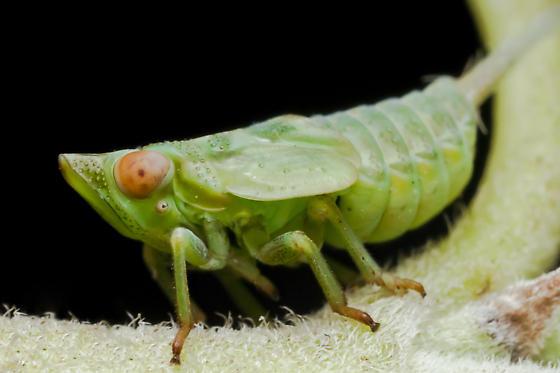 Hemipteran Nymph - Thionia acuta