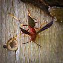 Subfamily Polistinae - Paper Wasps (Polistes sp) - Polistes metricus