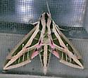 Texas SE Gulf Coast - Eumorpha fasciatus