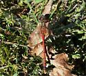 Dragonfly - Sympetrum ambiguum - male