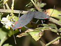 Red-shouldered Bugs mating - Jadera haematoloma